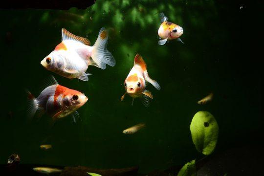Goldfish Tank Size