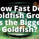 goldfish grow