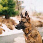 german shepherd 2567118 640