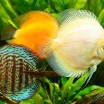 discus fish group symphysodon aequifasciatus front green plants