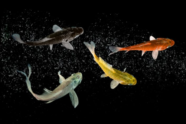 koi fish swimming isolated