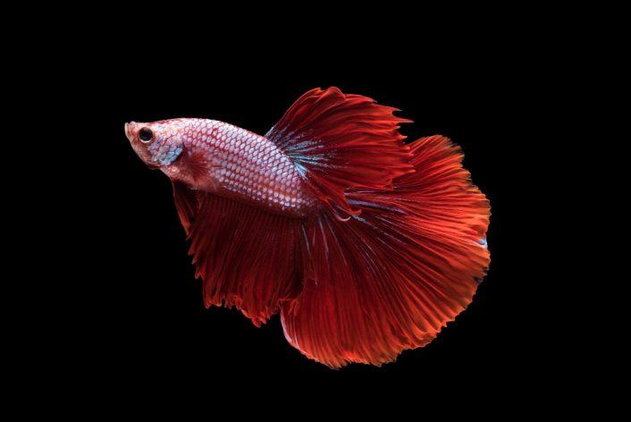 red halfmoon betta splendens siamese fighting fish isolated