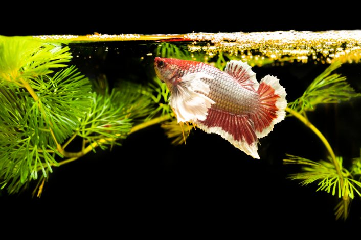 thai fighting fish with green plants natural background