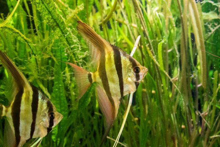 underwater shot altum angelfish algeas